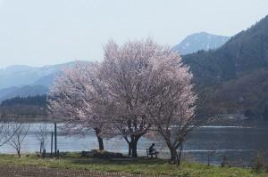 2018-4(桜の下で本を読む人、木崎湖と有明山をバックに)